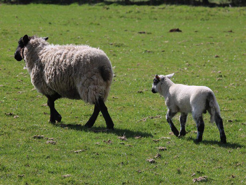 sheep-1306601_1920