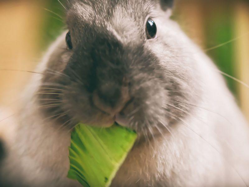 dwarf-rabbit-4833046_1920